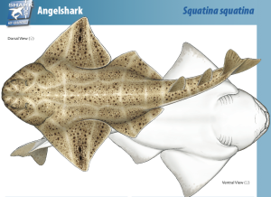 Angel Shark factsheet