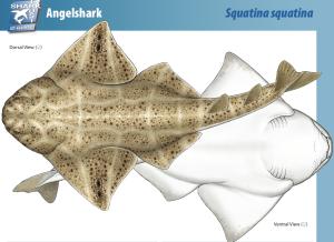 Angel Shark factsheet